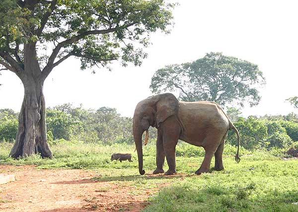 dyr i ghana